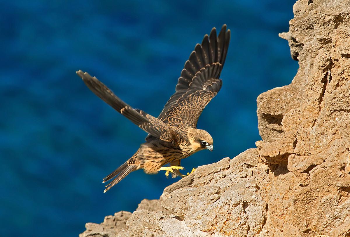 Il falco della regina