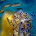 NL28 - 1 - meduse - c tubercolata