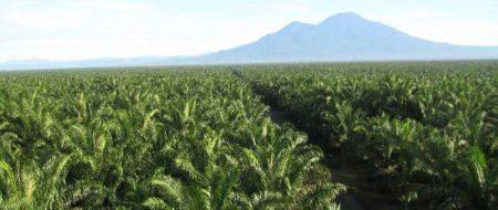 Una piantagione di palme da olio Wilmar in Malesia